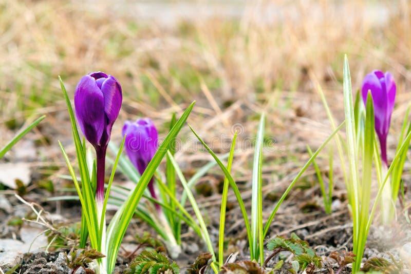 紫色番红花开花的春天花在草坪的在一个晴朗的春日 库存照片