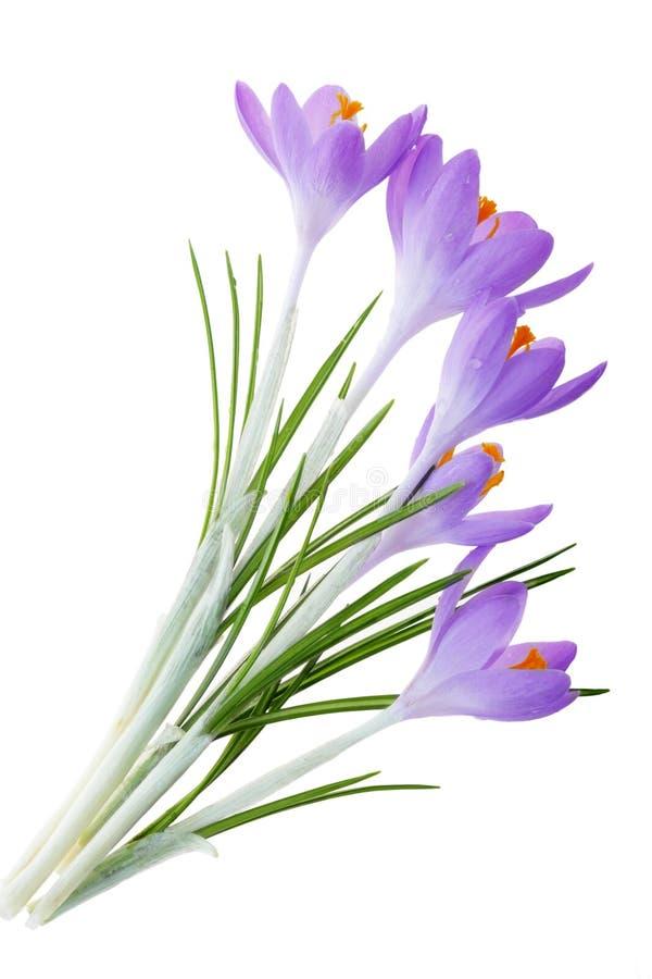 紫色番红花 图库摄影