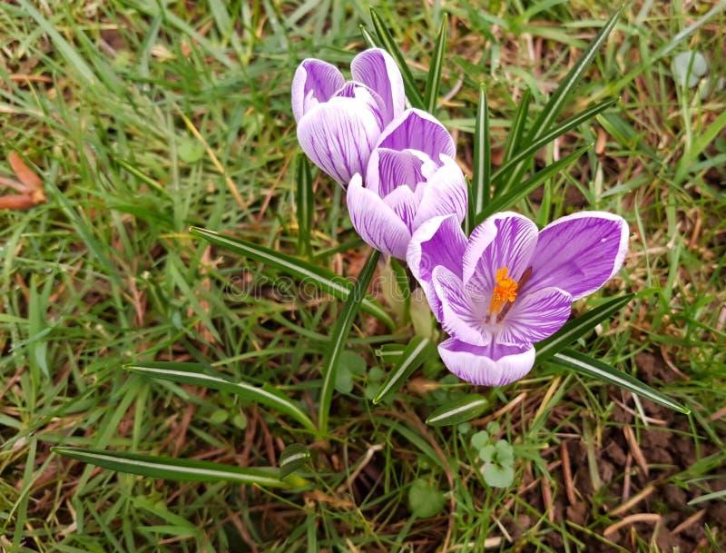 紫色番红花vernus'Pickwick'反对草 免版税库存照片