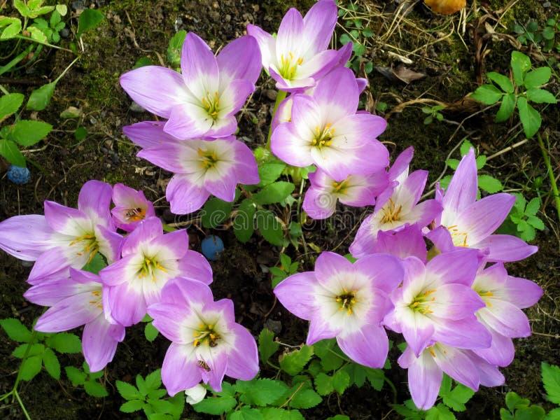 紫色白色番红花花在秋天庭院里 库存照片