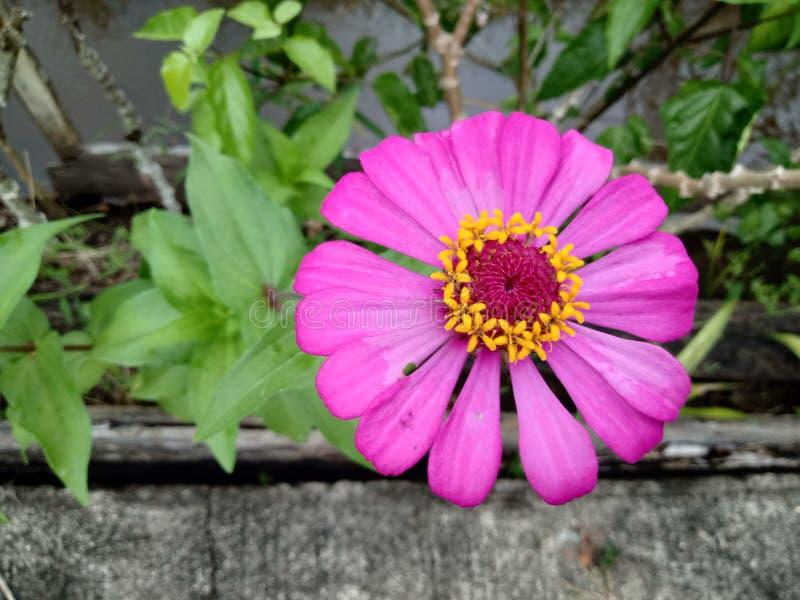 紫色百日菊属elegans花在庭院里 图库摄影