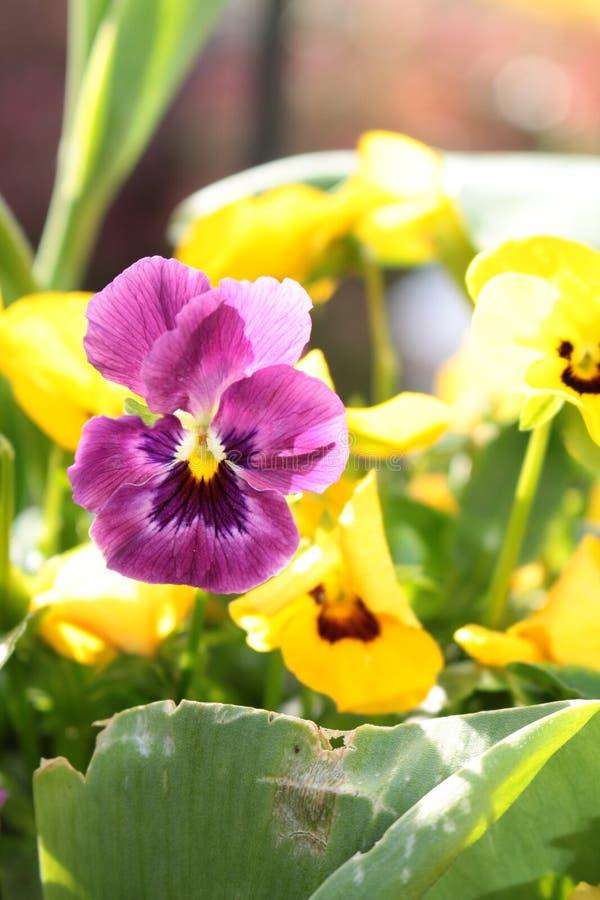 紫色的中提琴和黄色关闭在庭院边界 免版税库存照片