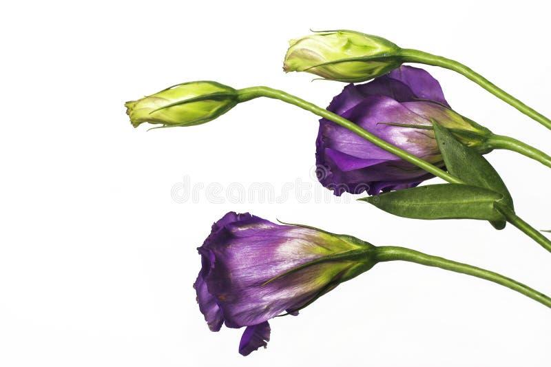 紫色的吊钟花 免版税库存照片