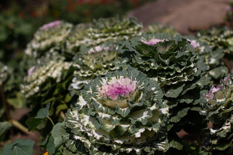 紫色的圆白菜 免版税库存照片