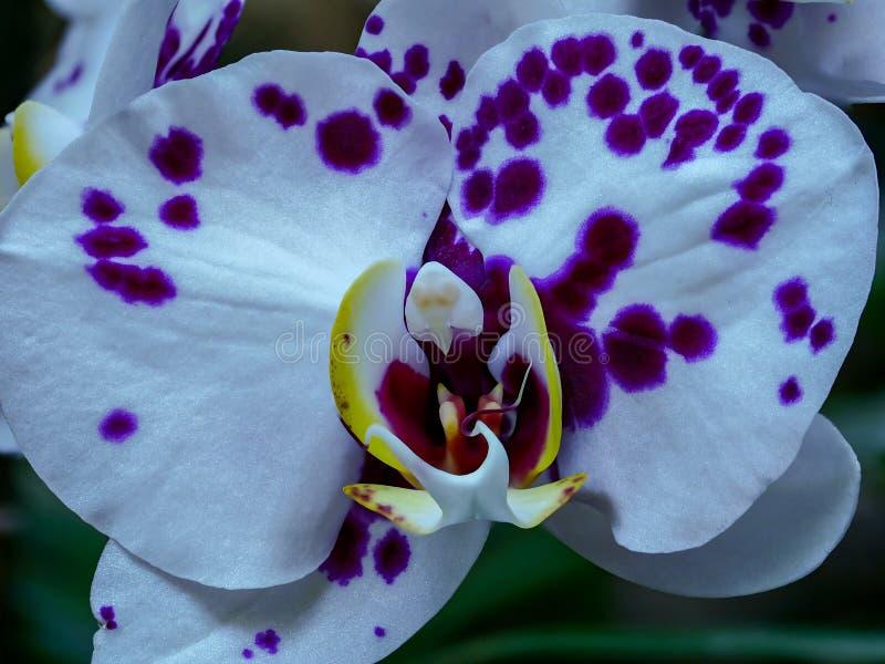 紫色的壮观的特写镜头与兰花的 免版税库存图片