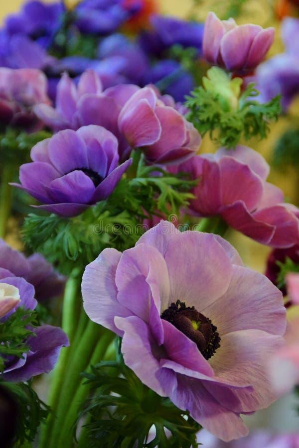 紫色的银莲花属 库存照片