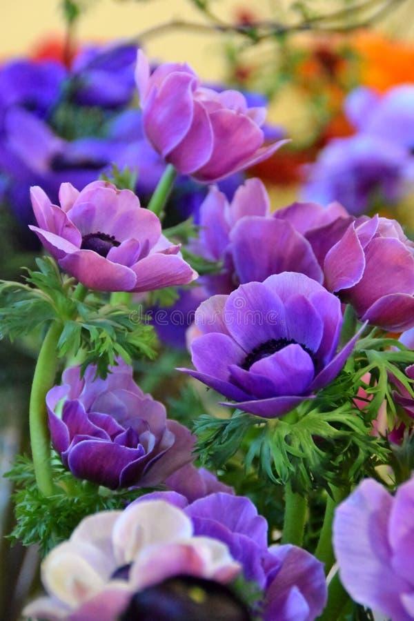 紫色的银莲花属 图库摄影