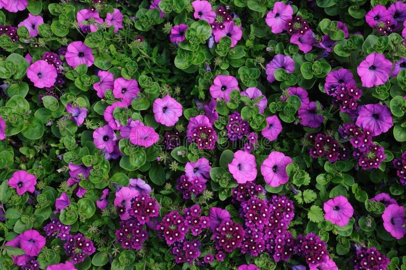 紫色的雏菊 库存照片