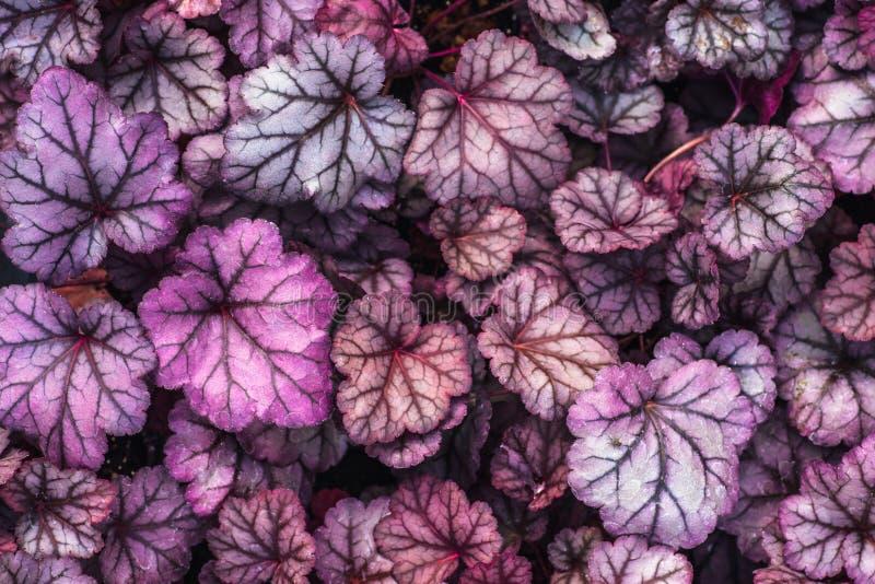 紫色矾根属植物杂种黑曜石,顶视图 矾根属植物明亮的叶子在玻璃温室 装饰叶子背景 库存照片