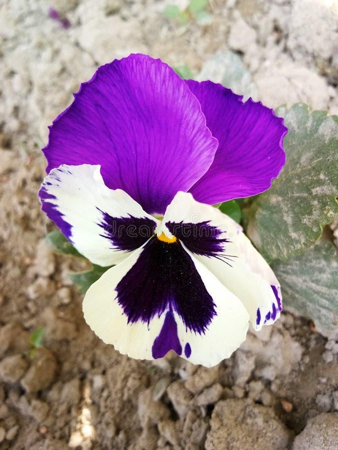紫色秀丽 库存图片