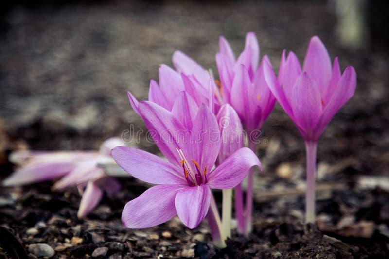 紫色秋天番红花特写镜头  免版税库存图片