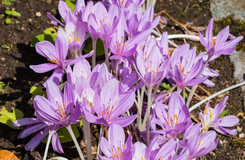 紫色秋天番红花 图库摄影