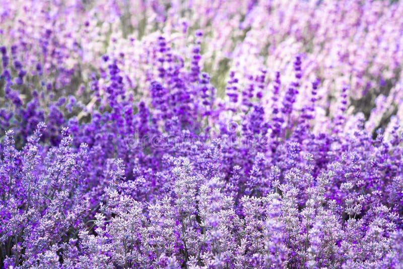 紫色紫罗兰色颜色淡紫色花 库存图片