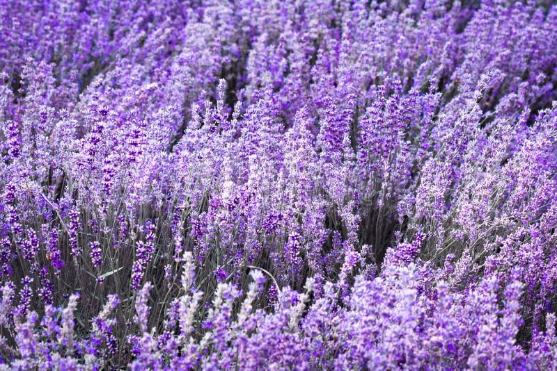 紫色紫罗兰色颜色淡紫色花 图库摄影