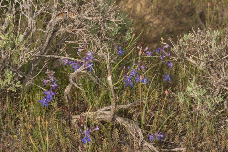 紫色纳托尔的与野葱葱属的拉克斯珀科罗拉多野花在鼠尾草在高沙漠国家 库存照片