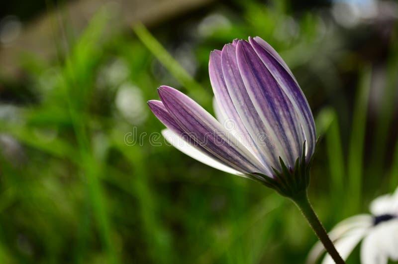 紫色绽放在斯里兰卡 库存图片