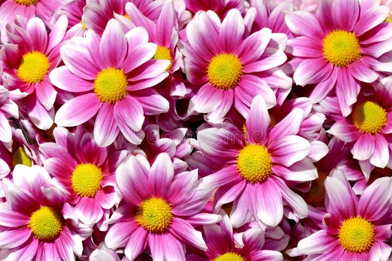 紫色背景菊花五颜六色的花 库存照片