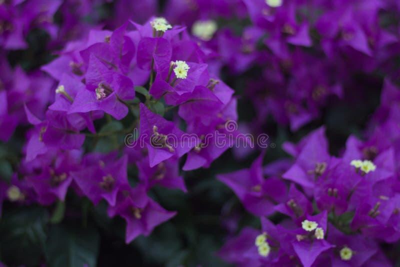 紫色花九重葛glabra特写镜头  库存照片