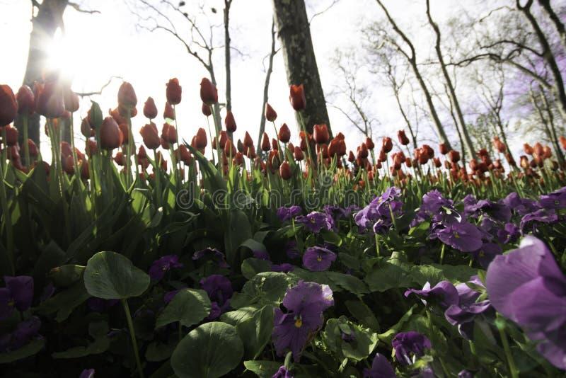 紫色花和红色郁金香在背景中 免版税库存图片