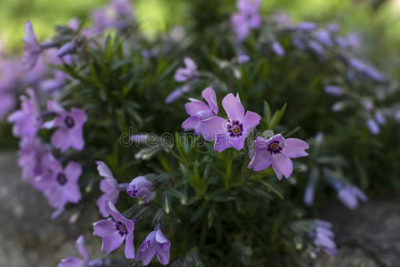 紫色花在庭院里 免版税库存图片