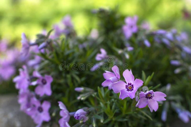 紫色花在庭院里 库存照片