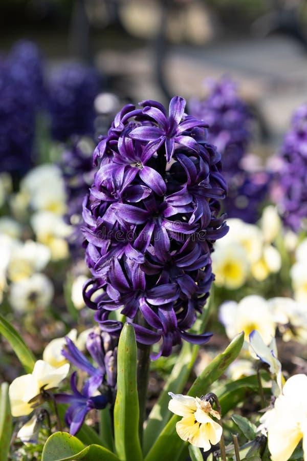 紫色花在春天 库存照片