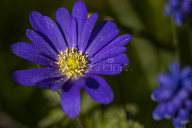 紫色花春天 免版税库存照片