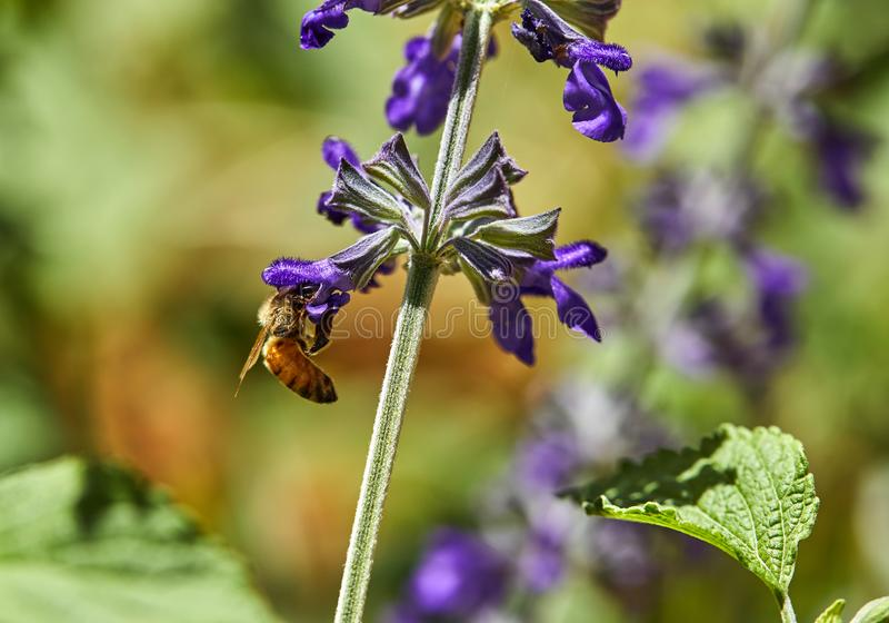 紫色花由一只蜂授粉了在公园 免版税图库摄影