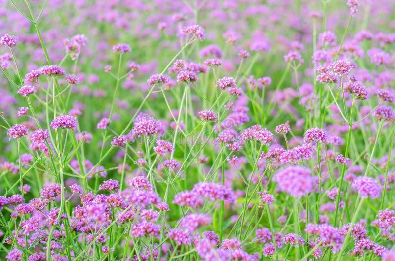 紫色花,马鞭草属植物花田 库存照片