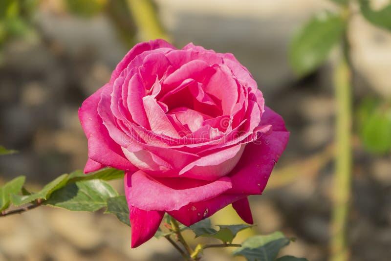 紫色茶上升了花园 与宏观bokeh作用的玫瑰花蕾 免版税库存图片