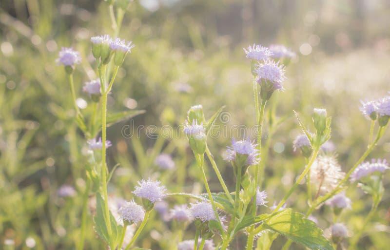 紫色草花在有阳光的草甸 免版税库存图片