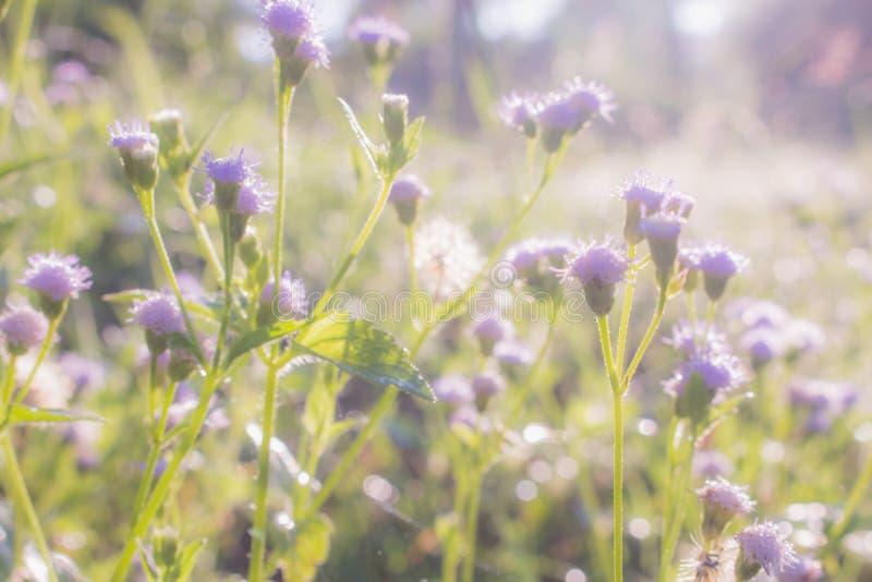 紫色草花特写镜头在自然背景中 免版税图库摄影