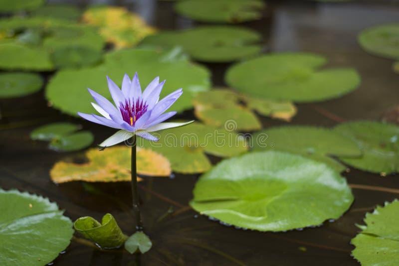 紫色莲花在池塘 免版税库存图片