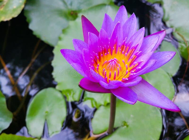 紫色莲花绽放 库存图片