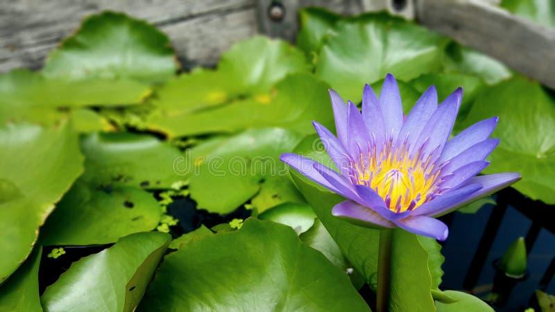 紫色莲花 库存图片