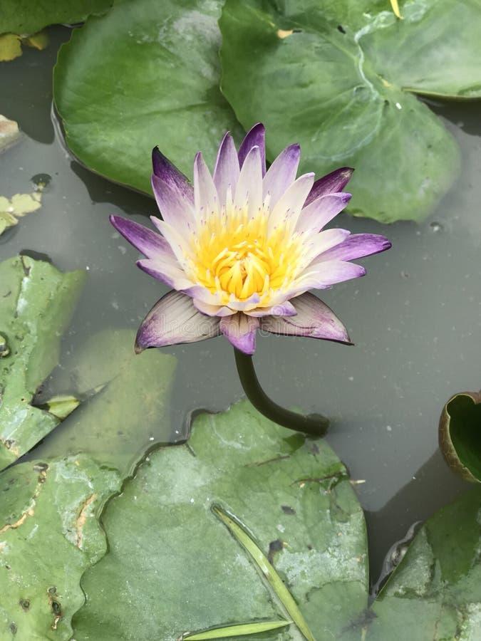 紫色莲花 库存照片