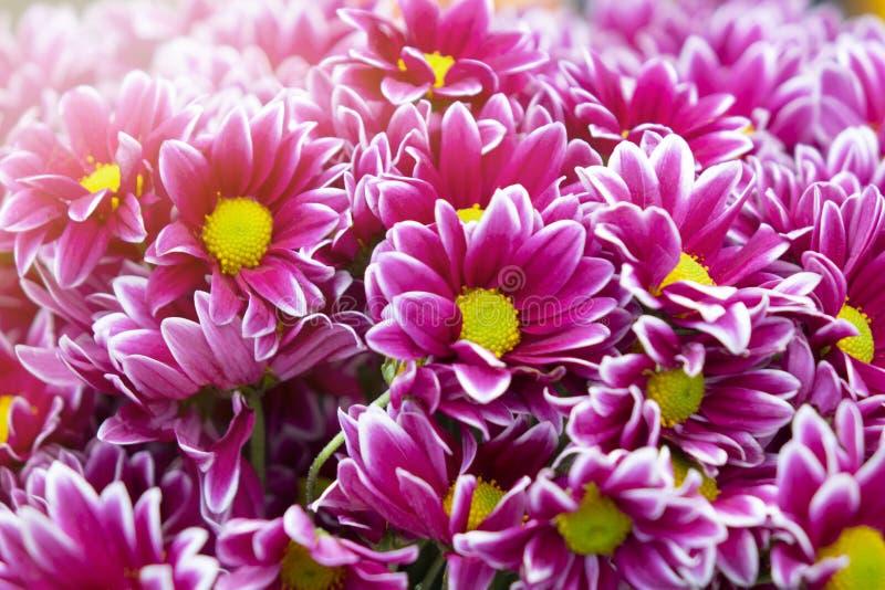 紫色菊花花背景 免版税库存照片