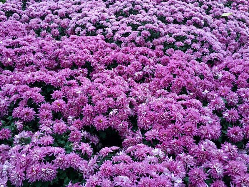 紫色菊花 免版税库存照片