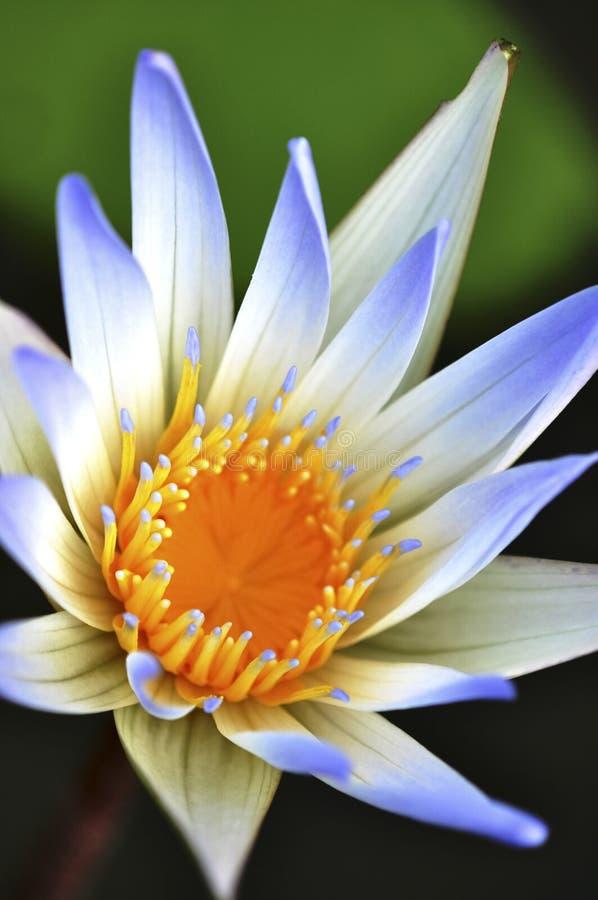 紫色蓝色精妙的莲花 库存照片