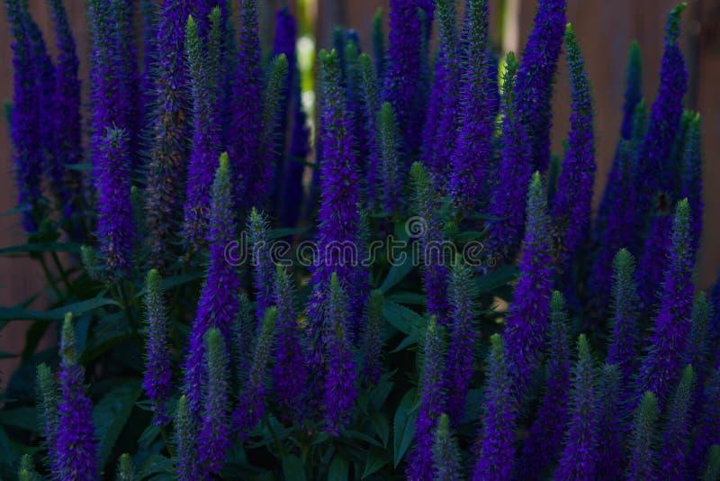 紫色蓝色Veronica多年生植物 免版税库存图片