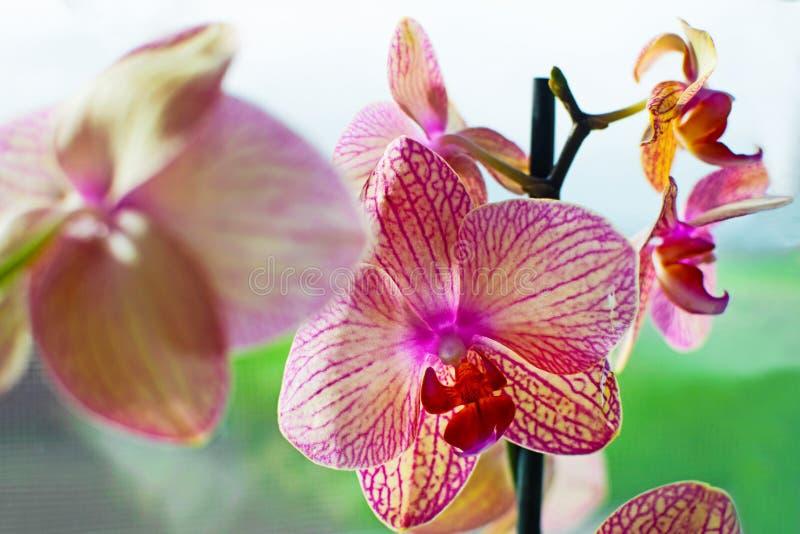 紫色蝴蝶兰花或兰花植物在窗口里 库存照片