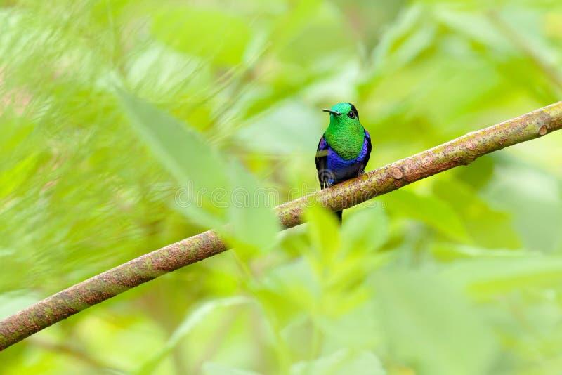 紫色被加冠的woodnymph,Thalurania colombica fannyi,蜂鸟在哥伦比亚的热带森林里,蓝色一只绿色光滑的鸟  库存照片
