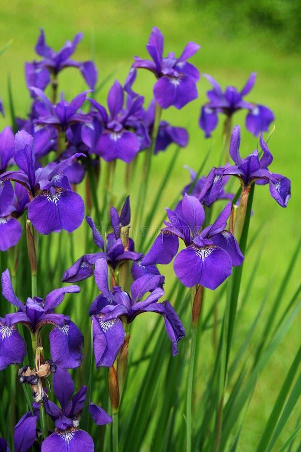 紫色西伯利亚虹膜在一个绿色春天庭院中开花 库存照片