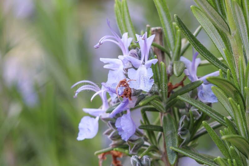 紫色迷迭香花和雄芯花蕊 图库摄影