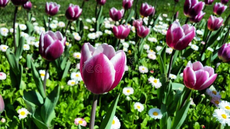 紫色郁金香和雏菊 免版税图库摄影