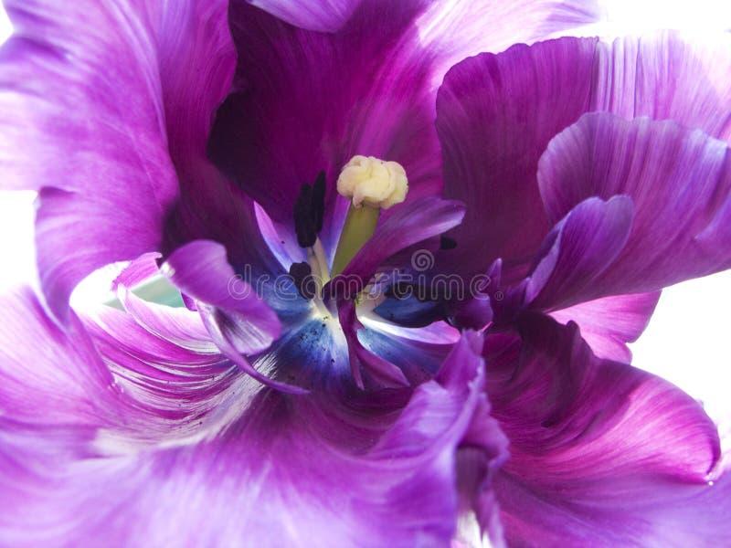 紫色郁金香 免版税库存照片