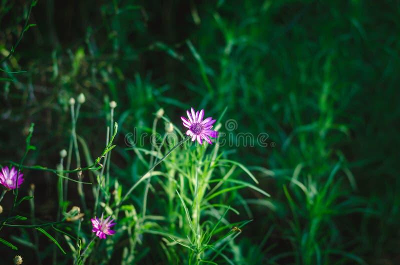 紫色野花在反对绿色水多的夏天草本背景的明亮的阳光下  在观察水平的射击 点焦点 库存照片