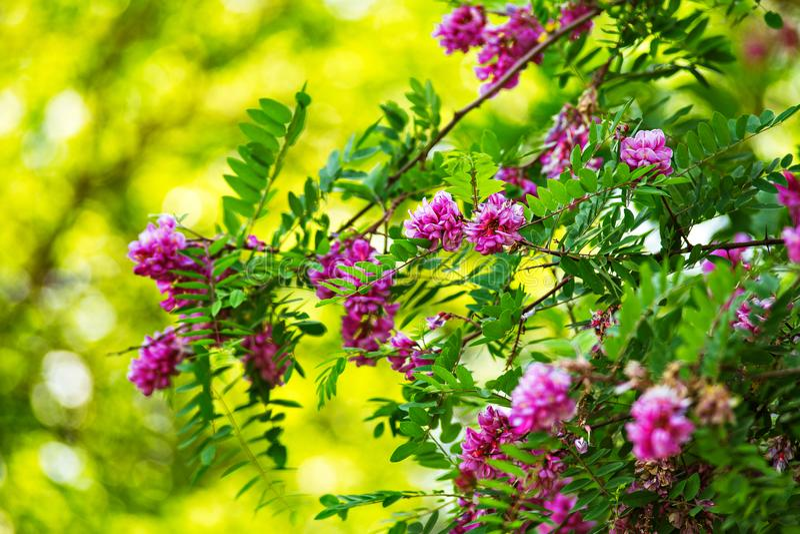 紫色金合欢树开花 花桃红色刺槐属 图库摄影