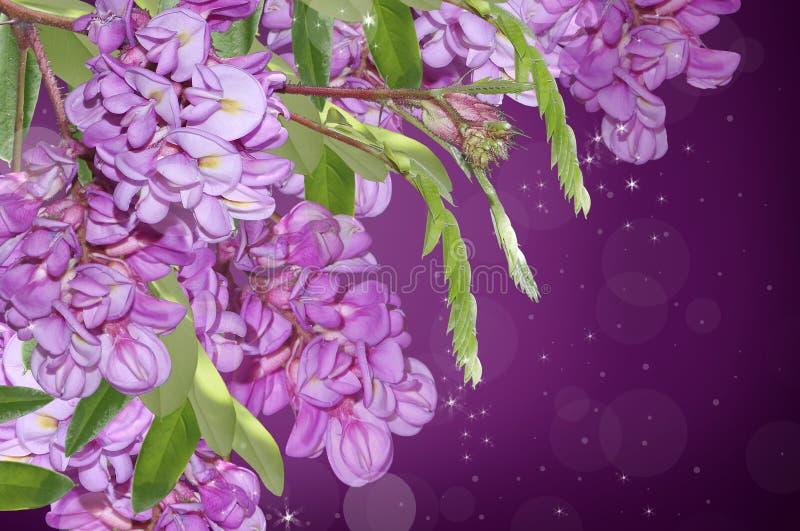 紫色金合欢 免版税库存图片