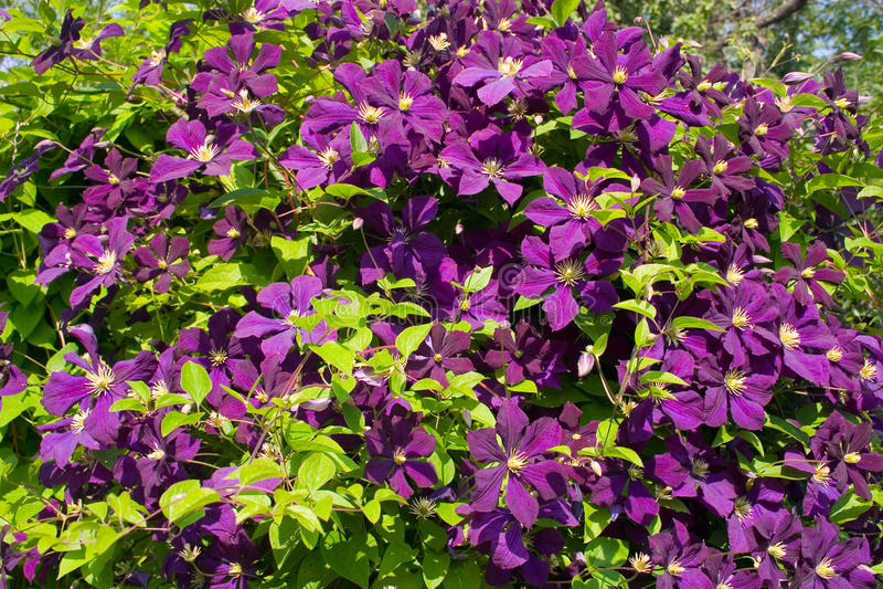 紫色铁线莲属 免版税图库摄影